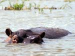 Hippo - Kazinga Channel