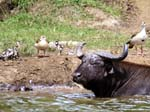 Geese and Buffalo - Kazinga Channel