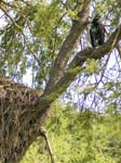 Juvenile Fish Eagle and a Hammerkop Nest