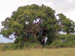 Giant Fig tree - Ishasha