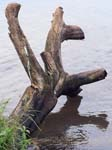 Tree Trunk - Entebbe