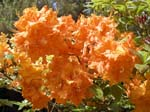 Orange Rhodies