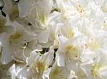 White Rhodies
