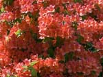 Red Rhodies