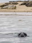 A Grey Seal Blakeney
