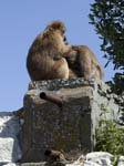 Barbary Macaques Signal Hill