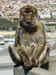 Mother Barbary Macaque