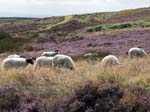 Sheep Levisham Moor