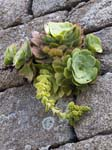 Aeonium on the Garrison Walls