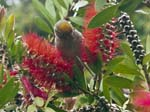 A Sparrow on a Bottlebrush Plant (Callistemon citrinus)