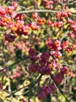 Spindle Berries (Euonymus europaeus)
