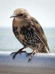 A Young Starling