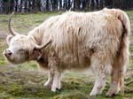 A Golden Retriever Cow