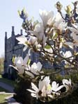 A Magnolia and the North Front
