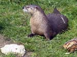 Canadian Otter