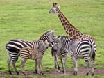 Giraffe and Zebras