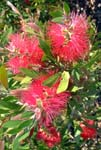 Callistemon Rigidus - Outdoor Biome