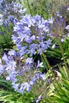 Agapanthus - Outdoor Biome
