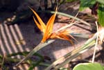 Bird-of-Paradise Flower - WTB