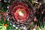 Red Sempervivum
