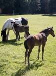 A Horse and Foals