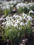 Snowdrops The Pleasure Grounds