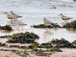 Red Knot (Calidris canuta)  Alnmouth