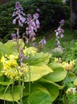 Hostas and Polyanthuses