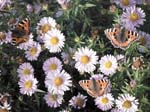 Butterflies and Michaelmas Daisies