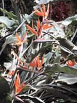 Bird of Paradise Flower (Strelizia Reginae) - RHS Wisley