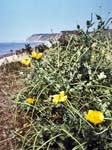 Yellow-horned PoppiesDinas Dinlle