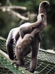 Woolly Monkey and Baby