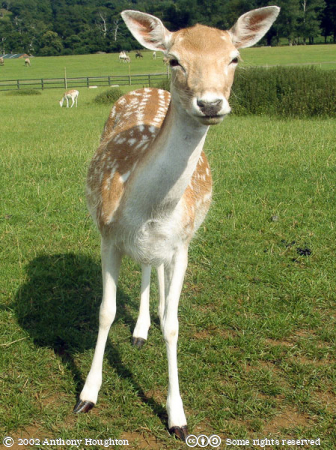 Zoo,Animal,Fallow Deer Fawn,Longleat Safari Park