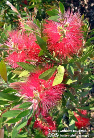 Eden Project,Callistemon rigidus,Flowers