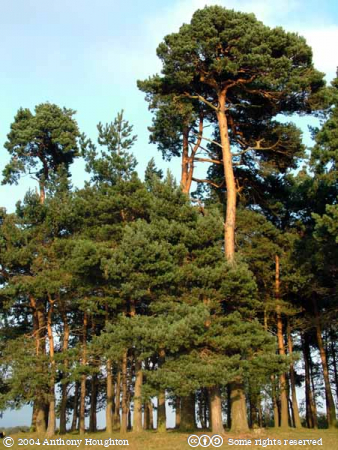 Ashdown Forest,Camp Hill,Trees