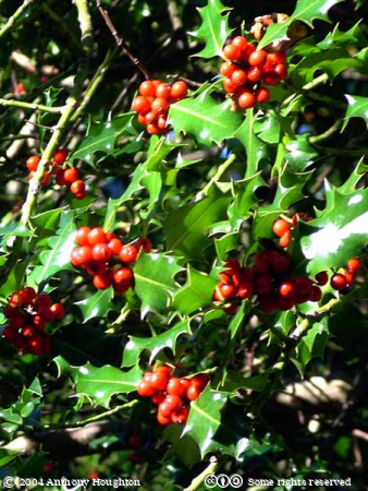 Trees,Holly Berries