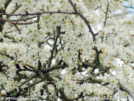 Wimborne,Pamphill,Eye Mead,Flowers,Blossom,Blackthorn