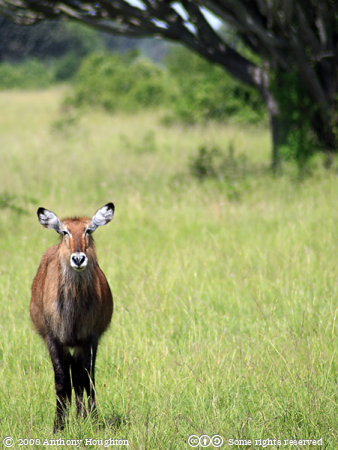 Waterbuck,Water Buck,Antilope,Mweya,QENP,Queen Elizabeth National Park