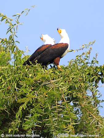Fish Eagles,Birds,Kazinga Channel,QENP,Queen Elizabeth National Park