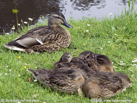 Duck,Ducklings,Birds