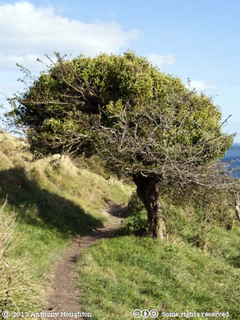 Tree,Ballard Down,Swanage