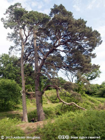 Pines,Cranborne Castle,Trees