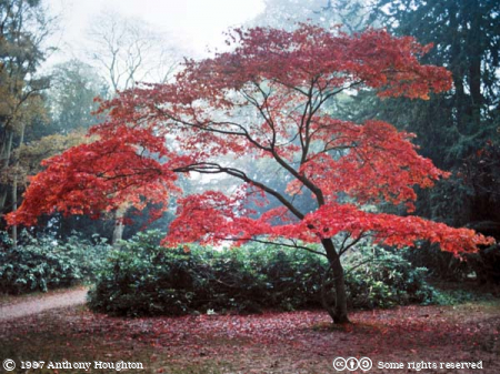 Westonbirt,Tree,Maple