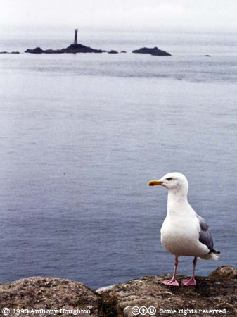 Bird,Gull,Seagull,Longships Lighthouse,Rocks