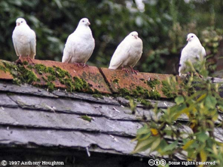 Pencarrow,Birds,Dove,Doves
