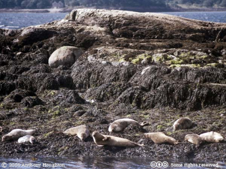 Fort William,Loch Linnhe,Seal Island,Animals,Seals