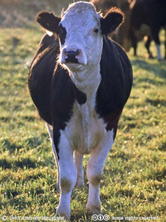 Friesian,Cow
